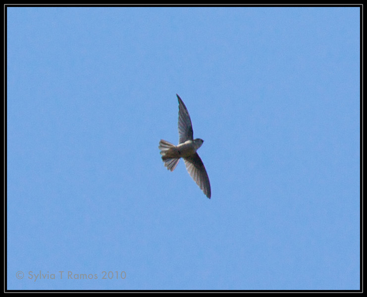 PHILIPPINE SWIFTLET <i>Collocalia mearnsi</i> Mt. Data, Mountain Province, Philippines