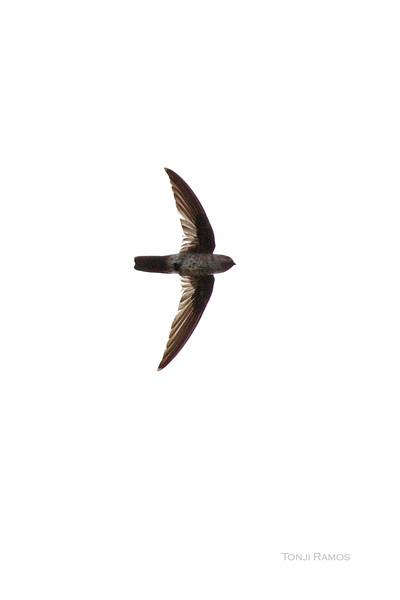 PYGMY SWIFTLET <i>Collacalia troglodytes</i> Rajah Sikatuna National Park, Bilar, Bohol