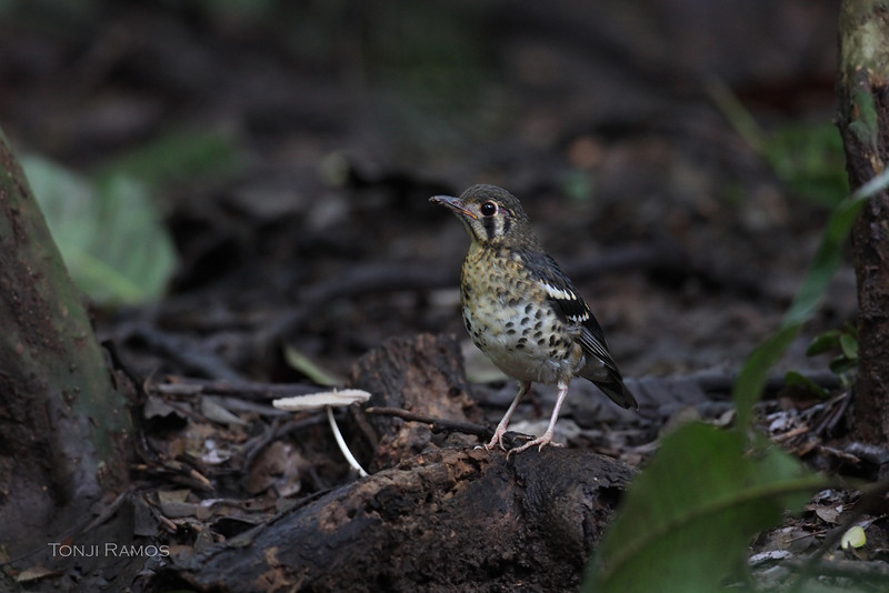 ASHY THRUSH, juvenile <i>Geokichla cinerea</i> La Mesa Ecopark, Quezon City, Philippines