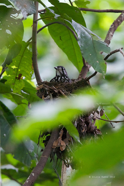 ASHY GROUND-THRUSH, adult on a nest <i>Zootherea cinerea</i> La Mesa Ecopark, Quezon City, Philippines