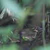 ASHY THRUSH, juvenile <i>Geokichla cinerea</i>
