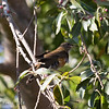 BROWN-HEADED THRUSH
