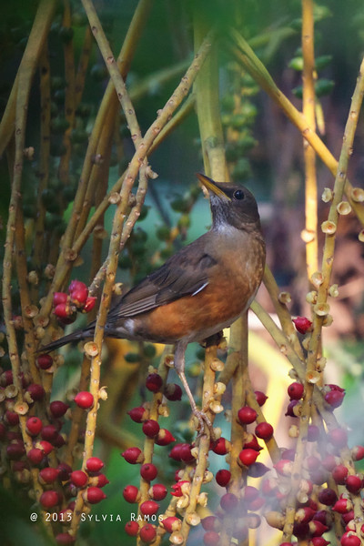 BROWN-HEADED THRUSH <i>Turdus chyrsolaus</i> La Mesa Ecopark, Quezon City