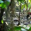 WHITE'S THRUSH <i>Zoothera aurea</i> La Mesa Ecopark, Quezon City, Philippines