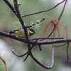 ELEGANT TIT <i>Parus elegans</i> Mt. Polis, Mountain Province, Philippines
