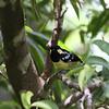 ELEGANT TIT <i>Parus elegans</i> Sierra Madre, Nueva Ecija