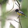 "Palawan Tit : PALAWAN TIT Parus amabilis Family Paridae  L 114 mm (4 1/2"") endemic, uncommon to common  Bird # 413 - April 2013  This bird is found in forest and second growth, rarely in scrub, in the canopy and middle story. It has a very loud and clear call. It looks similar to the Elegant Tit, except that the head is all black. The Elegant Tit is not found in Palawan."