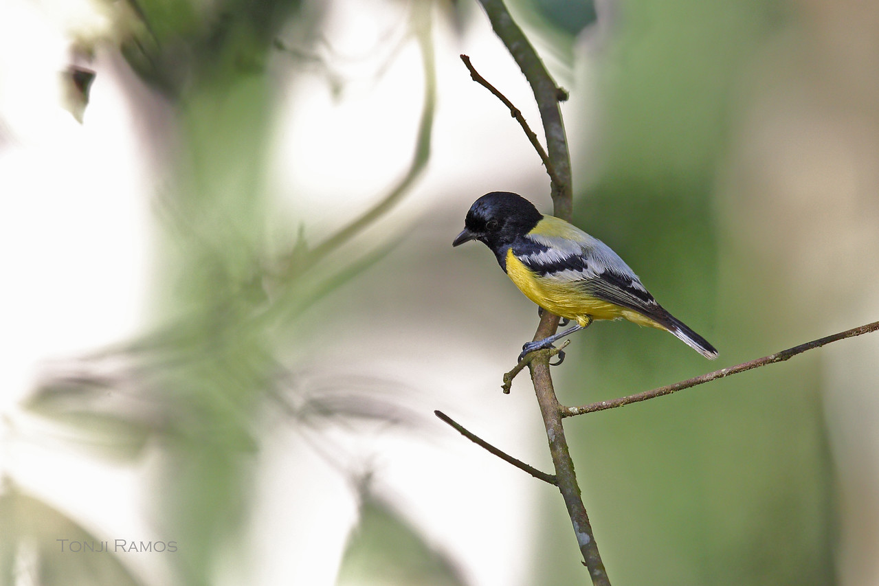 PALAWAN TIT <i>Parus amabilis</i> Puerto Princesa, Palawan