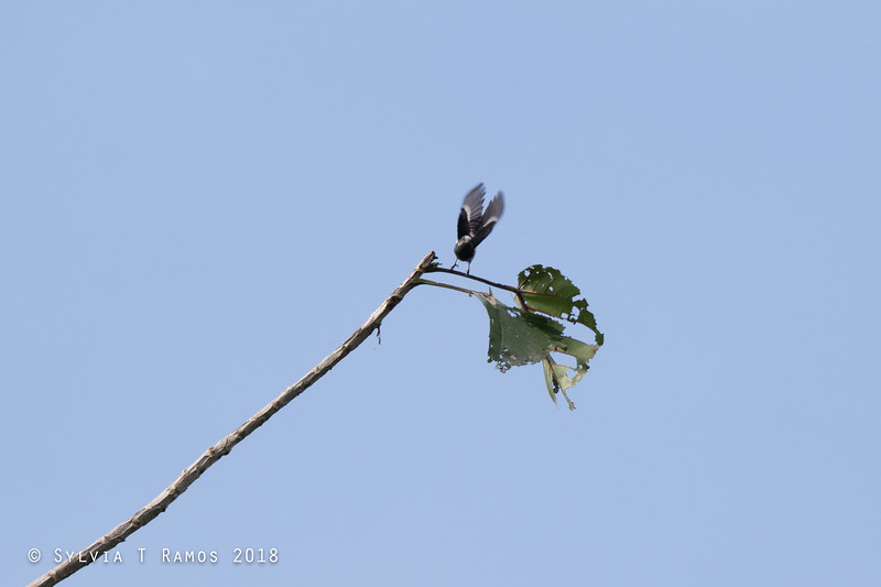 WHITE-FRONTED TIT