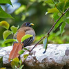 PHILIPPINE TROGON female <i>Harpactes ardens</i> Sierra Madre,Cagayan, Philippines