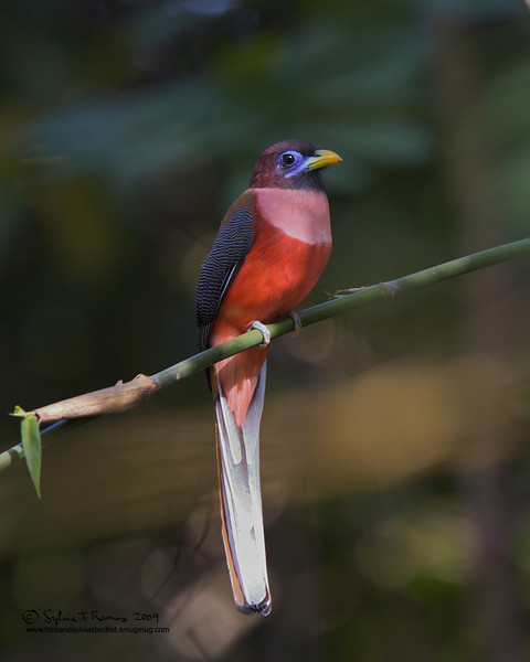 PHILIPPINE TROGON male <i>Harpactes ardens</i> Mt. Palay Palay, Cavite, Philippines