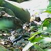 FOREST WAGTAIL <i>Dendronanthus indicus</i> Pasonanca, Zamboanga