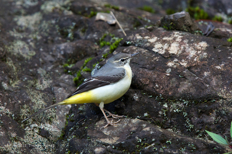 GREY WAGTAIL, winter plumage <i>Motacilla cinerea</i> Mt. Polis, Mountain Province, Philippines