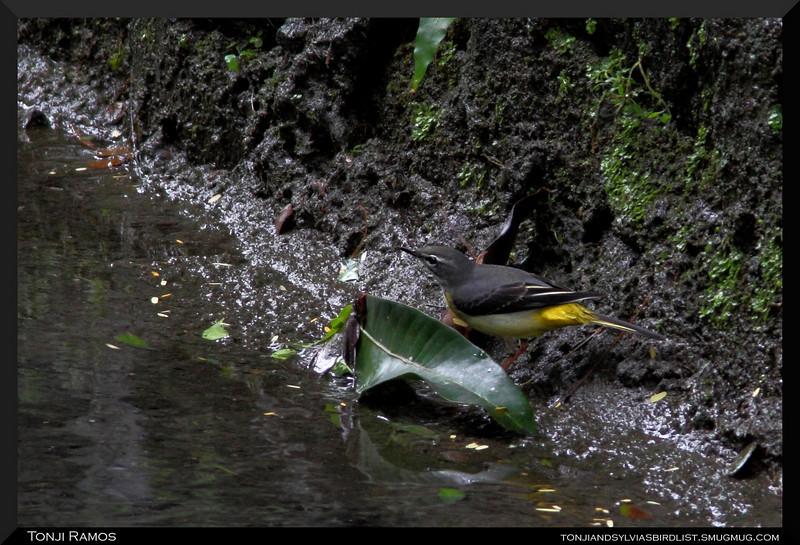 GREY WAGTAIL <i>Motacilla cinerea</i> Ayala Alabang, Philippines