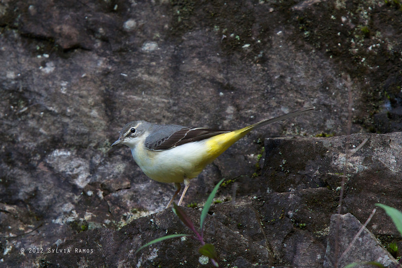 GREY WAGTAIL, winter plumage <i>Motacilla cinerea</i> Mt. Polis, Mountain Province, Philippines