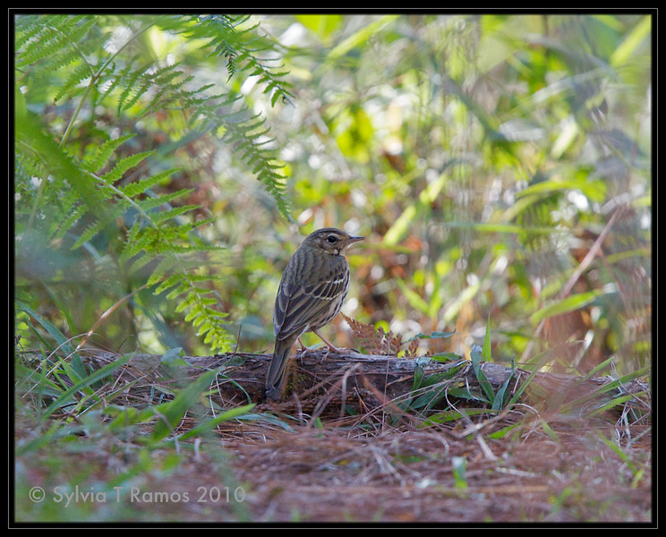 OLIVE-BACKED PIPIT <i>Anthus hodgsoni</i> Baguio, Mountain Province, Philippines