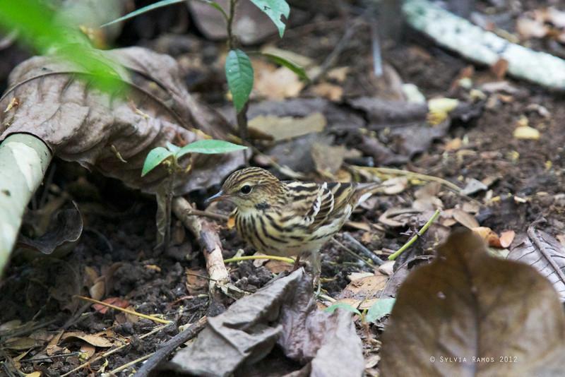 PECHORA PIPIT <i>Anthus gustavi</i> La Mesa Ecopark, Quezon City, Philippines