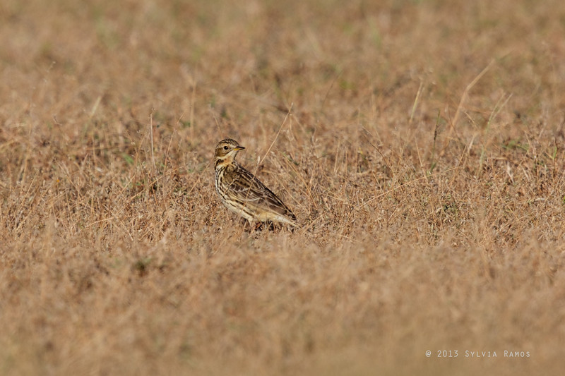 RED THROATED PIPIT <i> Anthus cervinus</i> Laoag, Ilocos Norte   throat is starting to turn red