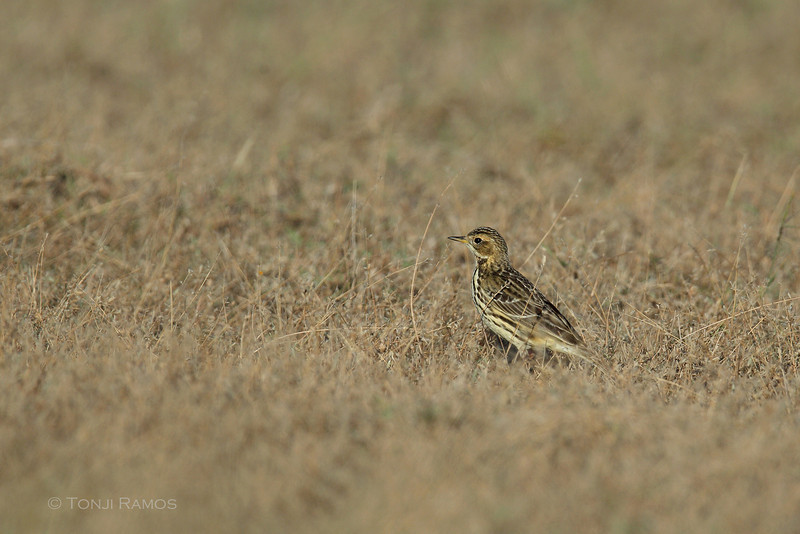 RED THROATED PIPIT <i> Anthus cervinus</i> Laoag, Ilocos Norte