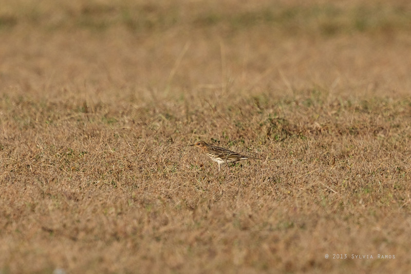 RED THROATED PIPIT <i> Anthus cervinus</i> Laoag, Ilocos Norte   this individual has a lot of red  on the face