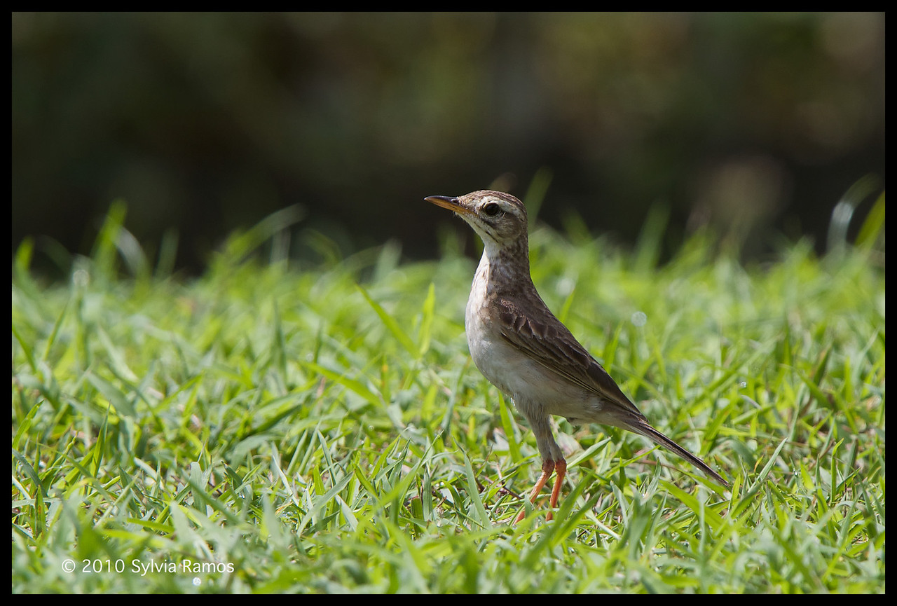 PADDYFIELD PIPIT <i>Anthus rufulus</i> Orchard Golf Course, Cavite, Philippines