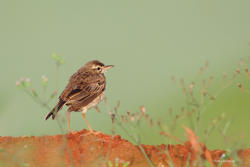 PADDYFIELD PIPIT <i>Anthus rufulus</i> Lake Caliraya, Laguna, Philippines