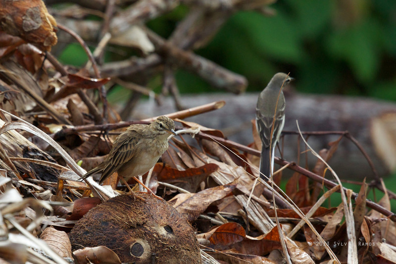 PADDYFIELD PIPIT <i>Anthus rufulus</i> Basco, Batan, Batanes  with a Yellow Wagtail in the background