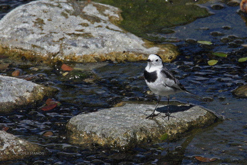 WHITE WAGTAIL, male <i>Motacilla alba ocularis</i> La Mesa Ecopark, Quezon City, Philippines