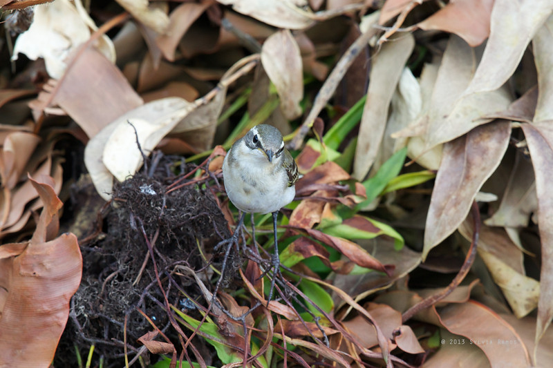 EASTERN YELLOW  WAGTAIL, immature <i>Motacilla tschutschensis</i> Basco, Batan, Batanes