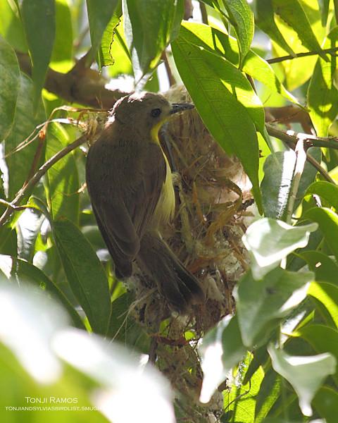 GOLDEN BELLIED GERYGONE <i>Gerygone sulphurea</i> Alabang, Philippines  This bird is building a nest.