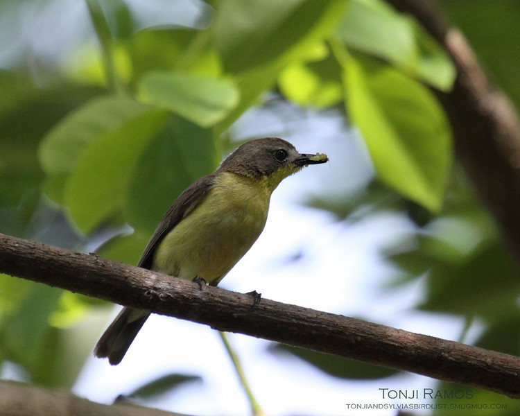 GOLDEN BELLIED GERYGONE <i>Gerygone sulphurea</i> Alabang, Philippines  It seems to be eating a termite.