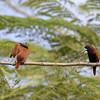 CHESTNUT MUNIA, immature <i>Lonchura malacca</i> Alabang, Muntinlupa, Philippines