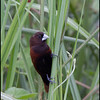 CHESTNUT MUNIA <i>Lonchura malacca</i> Coastal Road Lagoon, Manila Bay, Philippines