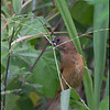 CHESTNUT MUNIA, immature <i>Lonchura malacca</i> Coastal Road Lagoon, Manila Bay, Philippines