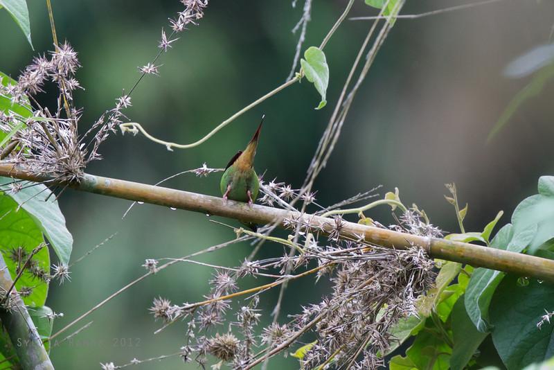 GREEN-FACED PARROTFINCH <i>Erythrura viridfacies</i> Palili, Bataan, Philippines