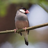 JAVA SPARROW <i>Padda oryzivora</i> UP Diliman, Quezon City, Philippines