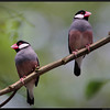 JAVA SPARROW <i>Padda oryzivora</i> UP Diliman, Quezon City, Philippines  We saw this pair on Java Sparrows in UP Diliman. They were kind enough to even show us their mating dance.