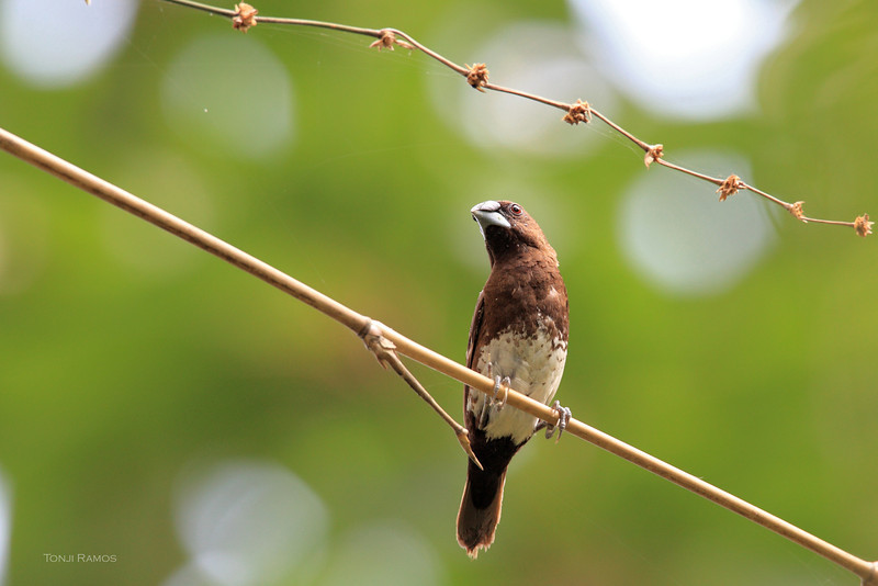 WHITE-BELLIED MUNIA <i>Lonchura leucogastra</i> Antipolo, Rizal  We were guests of Jeanne and Iggy Tan in their beautiful home in Antipolo. In their garden we saw a small flock of around six birds eating the flowers of a bamboo plant.