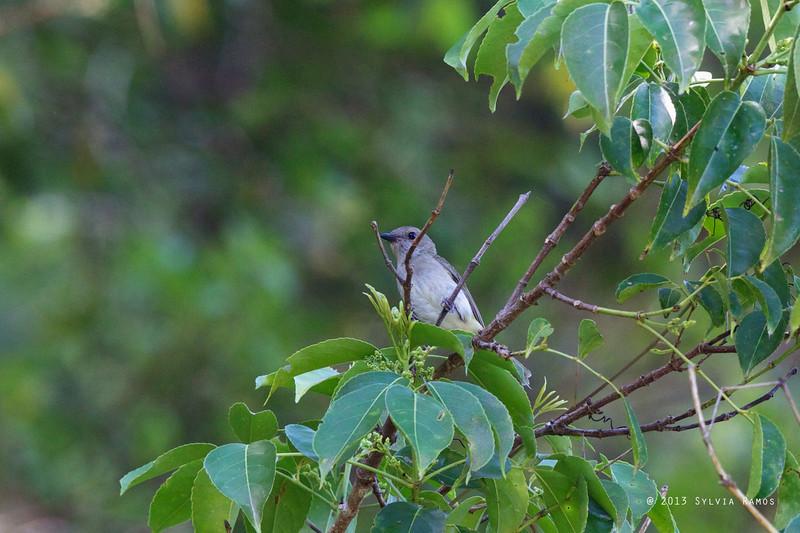 GREEN-BACKED WHISTLER <i>Pachycephala albiventris</i> Bessang Pass, Cervantes, Ilocos Sur