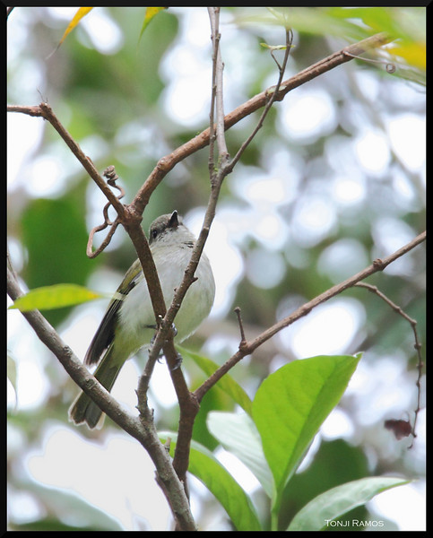 GREEN-BACKED WHISTLER <i>Pachycephala albiventris</i> Sagada, Mountain Province, Philippines