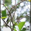 GREEN-BACKED WHISTLER <i>Pachycephala albiventris</i> Sagada, Mountain Province, Philippines