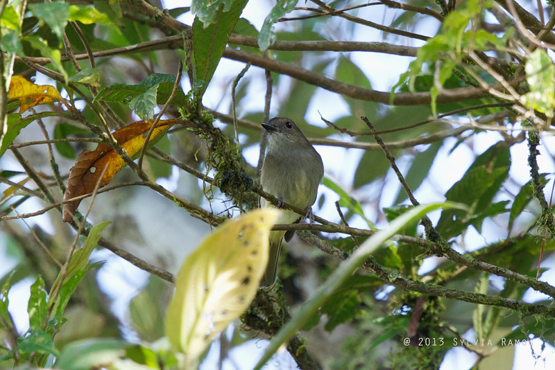 GREEN-BACKED WHISTLER <i>Pachycephala albiventris</i> Mt. Polis, Banaue, Mountain Province