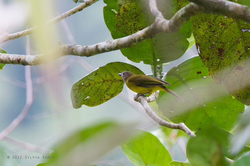 YELLOW-BELLIED WHISTLER <i>Pachycephala philippinensis</i> PICOP, Bislig, Surigao del Sur