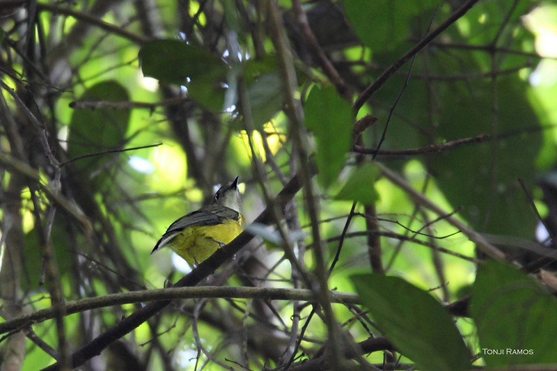 YELLOW-BELLIED WHISTLER <i>Pachycephala philippinensis</i> Rajah Sikatuna, Bilar, Bohol