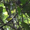 YELLOW-BELLIED WHISTLER <i>Pachycephala philippinensis</i> Rajah Sikatuna, Bilar, Bohol