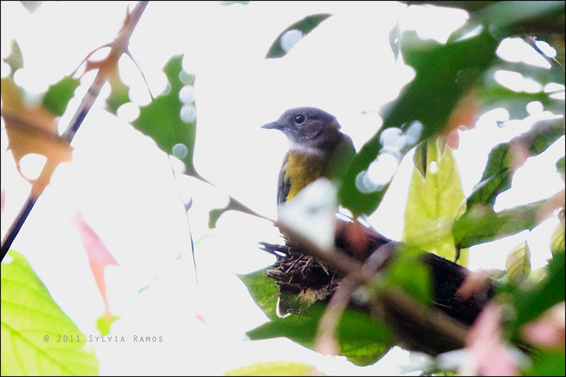 YELLOW-BELLIED WHISTLER <i>Pachycephala philippinensis</i> Mount Makiling, Laguna, Philippines