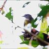 YELLOW-BELLIED WHISTLER <i>Pachycephala philippinensis</i> Mount Makiling, Laguna, Philippines