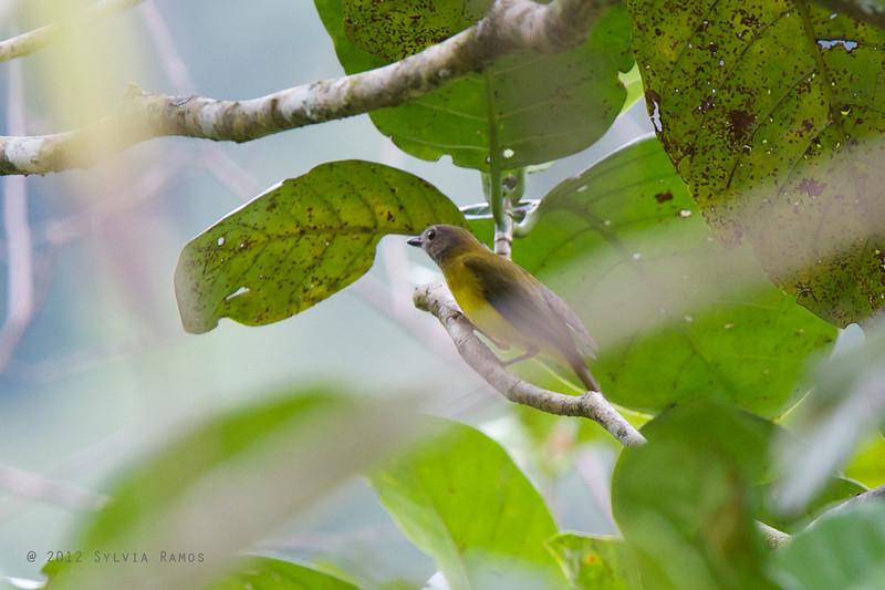 YELLOW-BELLIED WHISTLER <i>Pachycephala philippinensis</i> PICOP, Bislig, Surigao del Sur