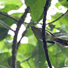 BLACK-CROWNED BABBLER <i>Stachyris nigrocapitata boholensis</i> Rajah Sikatuna National Park, Bilar, Bohol