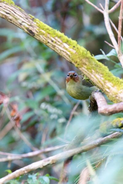 CHESTNUT-FACED BABBLER <i>Stachyris whiteheadi</i> Mt. Polis, Banaue, Philippines